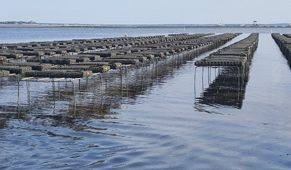 oystering cape cod